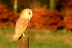 Barn owl photograph mounted in cream mount