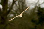 Flying barn owl, prints, mounted prints