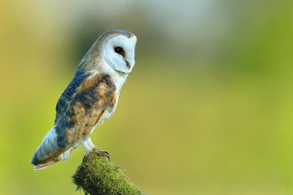 Barn owl picture, prints, mounted prints