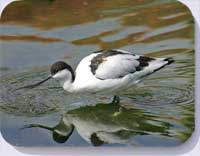 Coasters and placemats with avocet photo