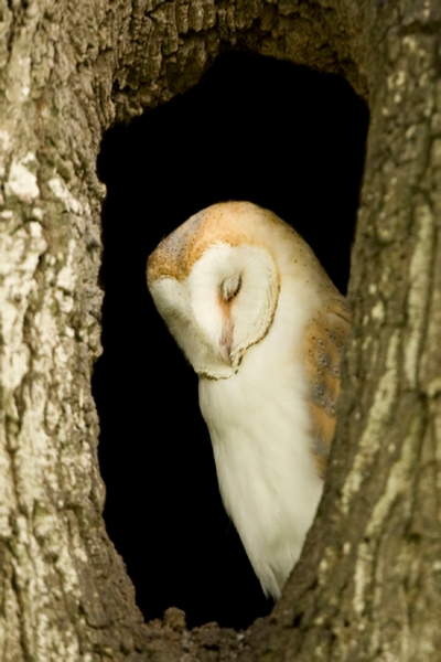 barn-owl-53401- - Sleepy owls - Photos Unlimited