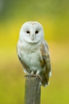 Barn owl hunting from a fence post, photos and mounted photos