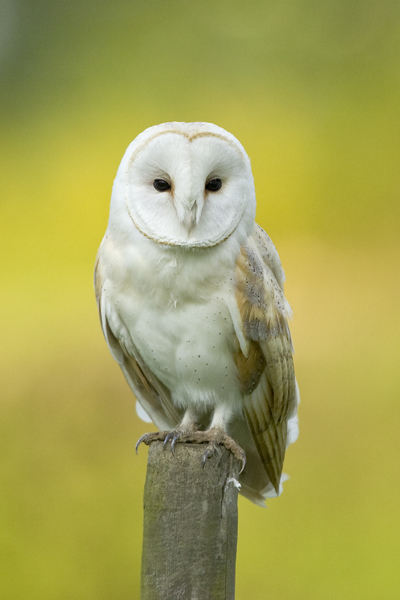 Barn owl hunting from a fence post