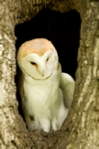 Barn owl sitting in a hole in a tree trunk mounted print