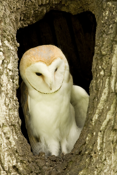 Barn owl sitting in a hole in a tree trunk
