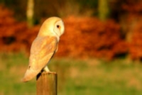 Barn owl at sunset, prints, mounted prints