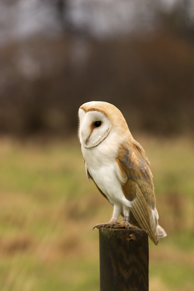 Barn owl photos for sale, prints, mounted prints