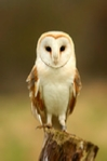 Barn owl mounted print, pink champagne mount