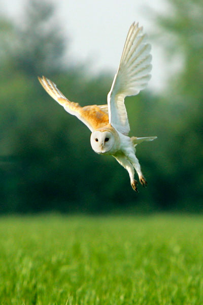 Barn owl taking off, prints, mounted prints