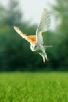 Barn owl photo in cream mount