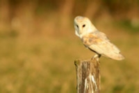 Pale barn owl peched on tree stump