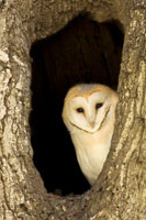 Barn owl roosting in hollow tree