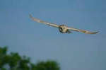 Barn owl picture in cream mount