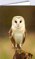 Barn owl on tree stump