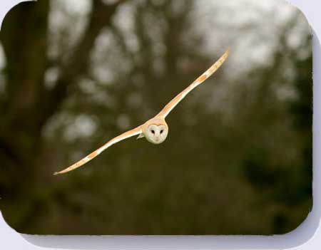 Barn owl place mats