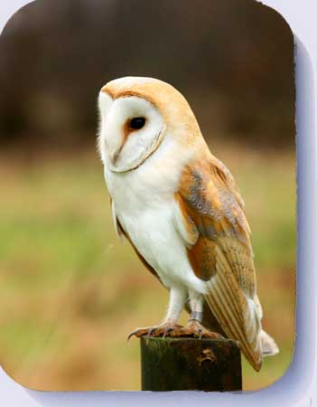 Photograph of a barn owl perched on a post, coasters and fridge magnets