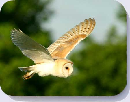 Barn owl photo on placemats, coasters and fridge magnets