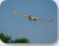 Barn owl coaster, barn owl in flight