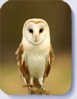 Stunning barn owl photo on fridge magnets and coasters