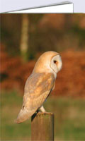 Barn owl at sunset, greeting card