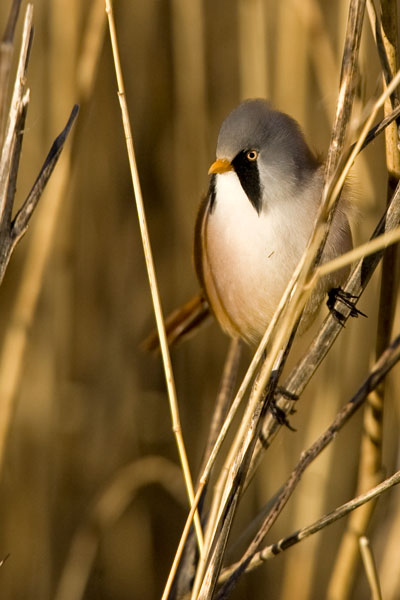 Bearded tit on reed stem at Cley marshes nature reserve