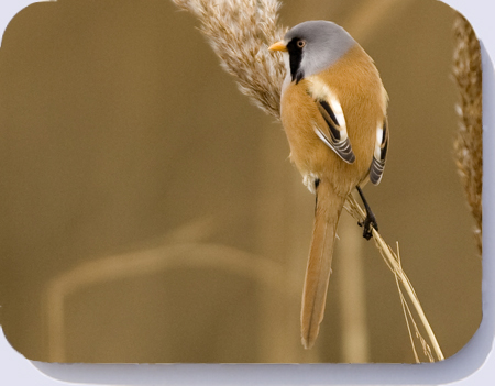 Bearded reedling on Norfolk reed seed head
