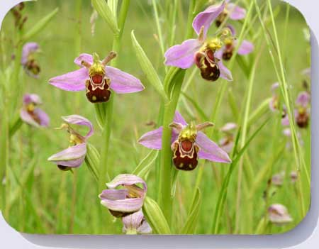 Bee orchids coasters, placemats and fridge magnets
