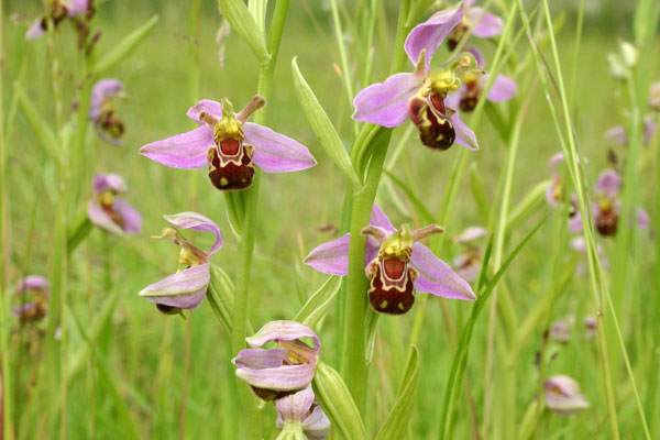 Bee orchids on my Norfolk smallholding