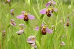 Bee orchids mounted print