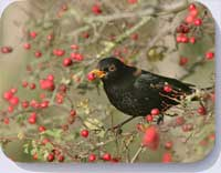 Blackbird eating berries on coasters and placemats