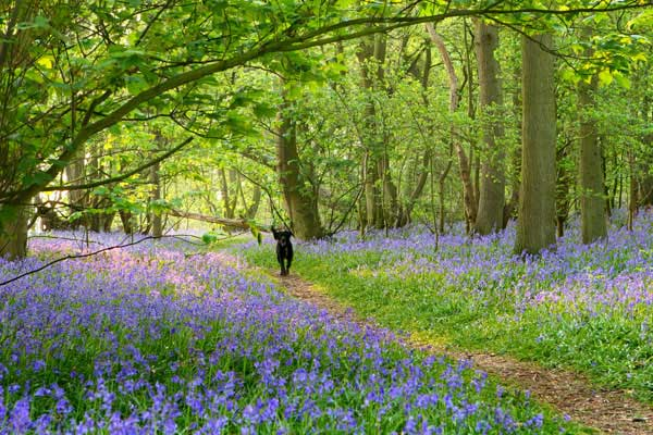 Norfolk bluebell woods photograph