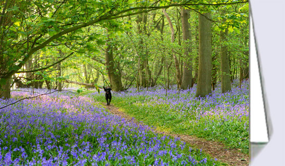Greeting cards with photo of Norfolk bluebell wood