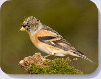 Brambling coasters, placemats and fridge magnets
