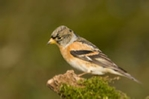Brambling photo, female brambling on moss covered log