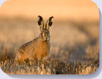 Hare coasters, brown hare in stubble field