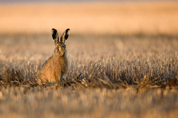 Hare in a stuble field at sunrise