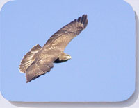 Photograph of a buzzard on coasters, placemats and fridge magnets
