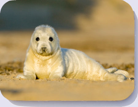 Grey seal pup photo on coasters, placemats and fridge magnets