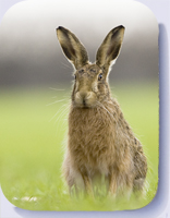 Brown hare photo on coasters and fridge magnets by Peter Mallett Wild Norfolk