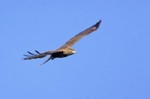 Photo of a common buzzard flying over my Norfolk farm