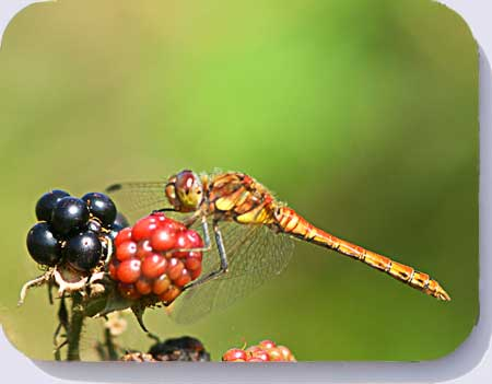 Common darter dragonfly coasters placemats and fridge magnets