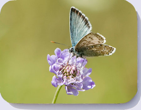 Chalkhill blue butterfly photo on coasters, placemats and fridge magnets