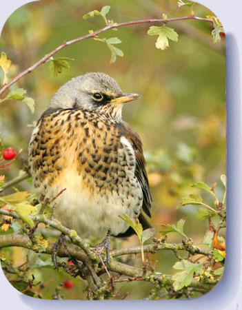 Fieldfare photograph on coasters and fridge magnets