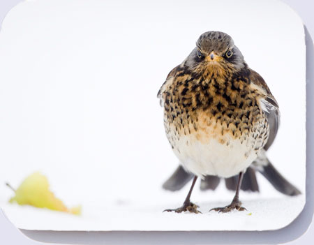 Fieldfare coasters, placemats and fridge magnets