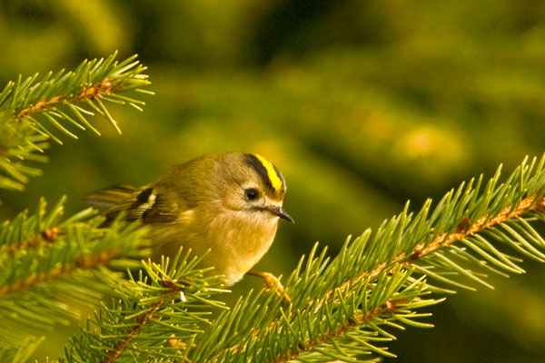 Goldcrest in Christmas tree
