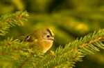 Goldcrest mounted print