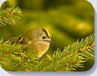 Goldcrest placematats coasters and fridge magnets