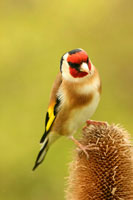Goldfinch photograph