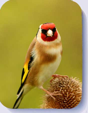 Goldfinch coasters and fridge magnets