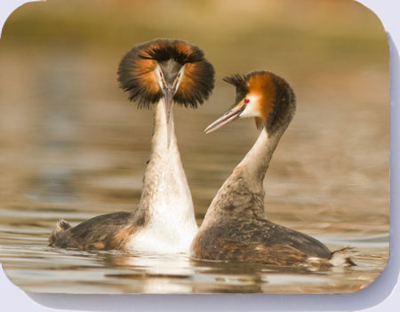 Photo of great crested grebes courtship display on coasters, placemats and fridge magnets